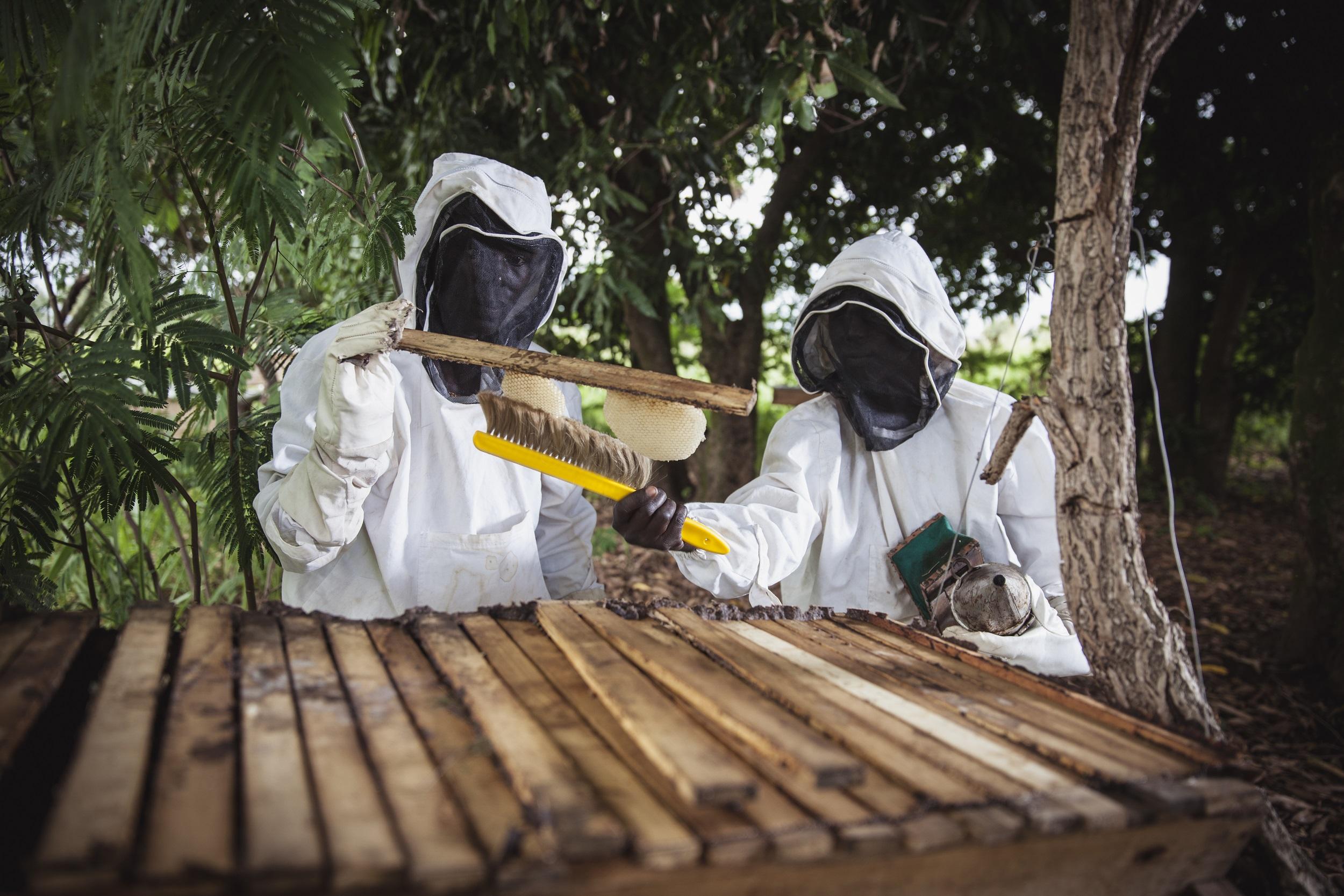 Kaksi suojapukuihin pukeutunutta henkilöä mehiläskennon parissa työskentelemässä